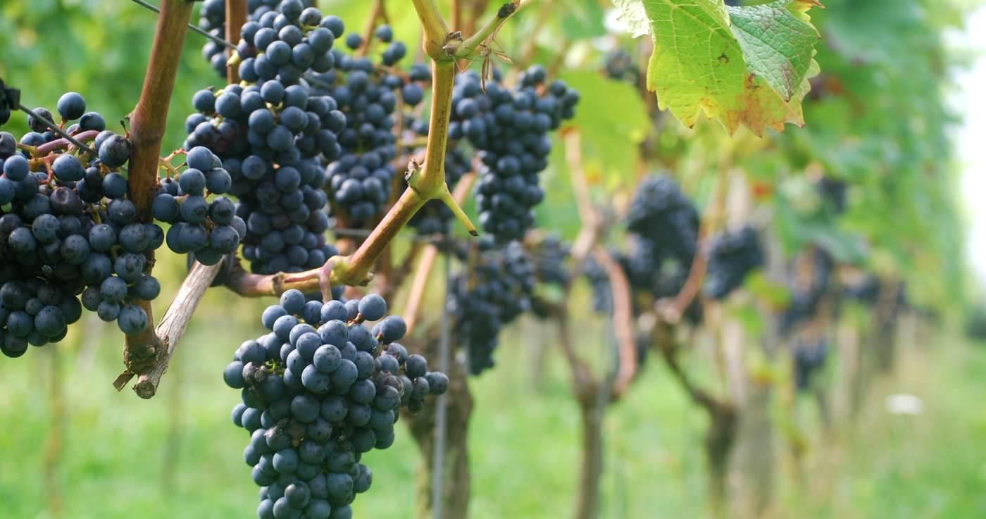Vakantie op een wijngaard - Wijndomein Erve Wisselink Eibergen