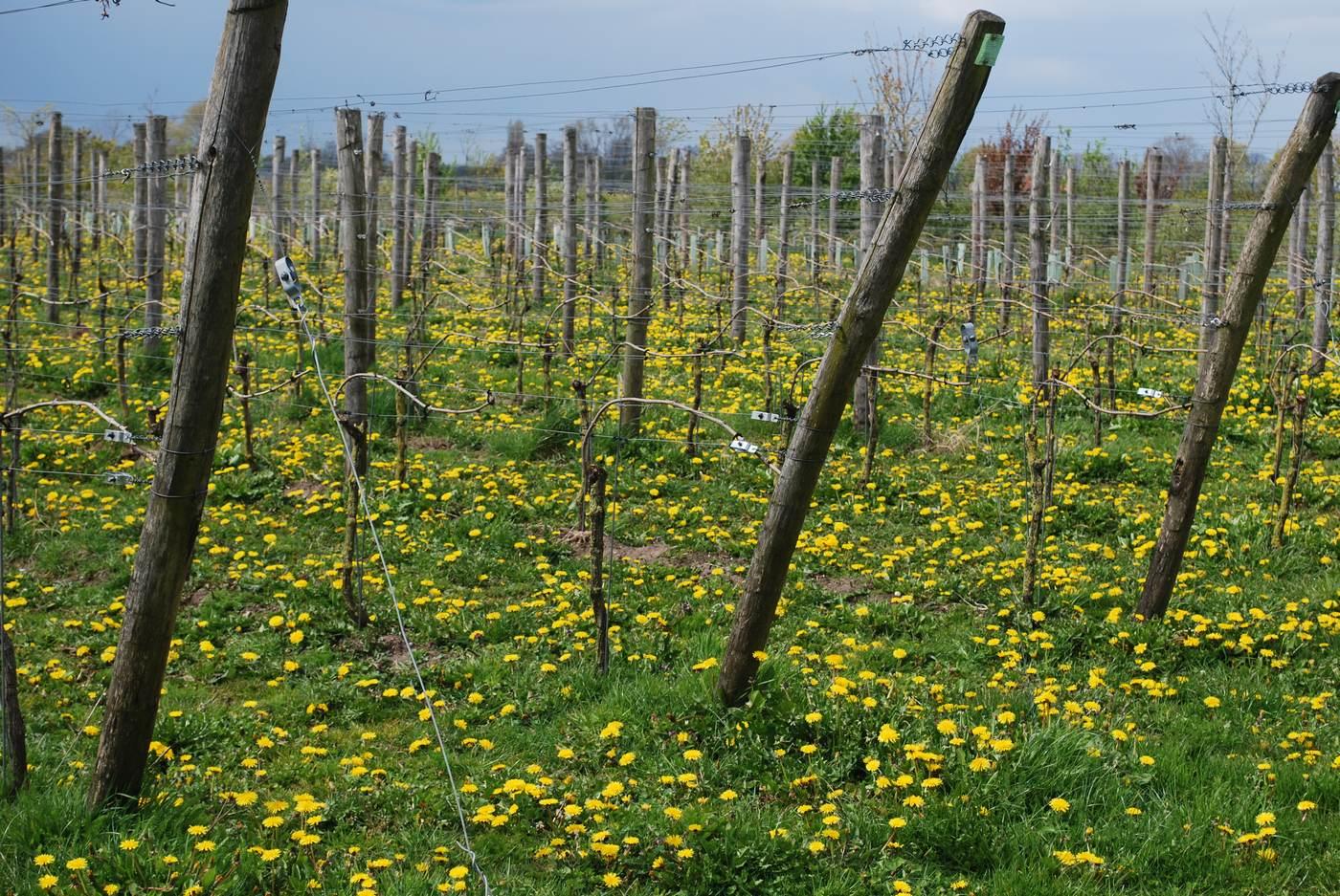 Nederlandse Wijngaard bezoeken - Wijndomein Erve Wisselink in Eibergen - Achterhoek