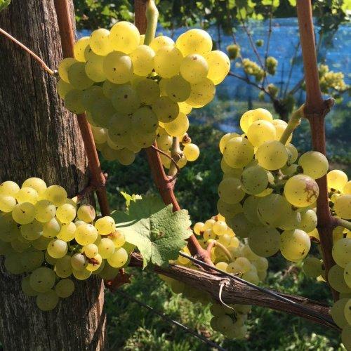 Wijngaard in de Achterhoek - Wijndomein Erve Wisselink