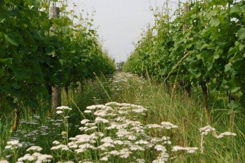 Nederlandse champagne van wijngaard Wijndomein Erve Wisselink in Gelderland